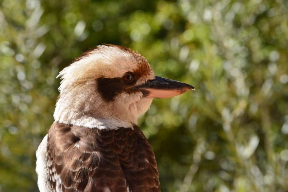 kookaburra back